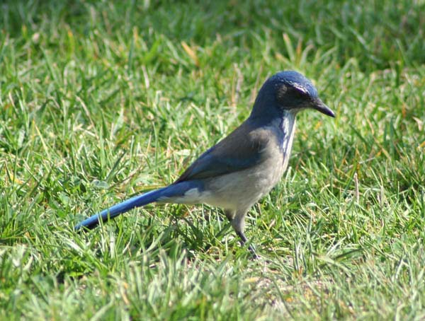 Western Scrub-Jay | Aphelocoma californica photo