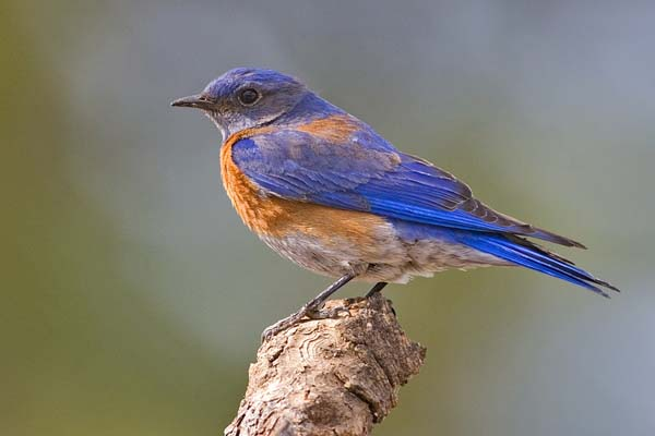 Western Bluebird | Sialia mexicana photo