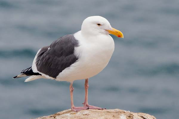Western Gull | Larus occidentalis photo