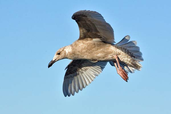 Western Gull   Larus occidentalis photo