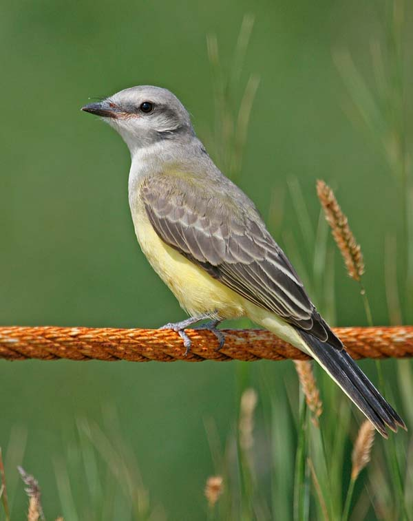 Western Kingbird | Tyrannus verticalis photo