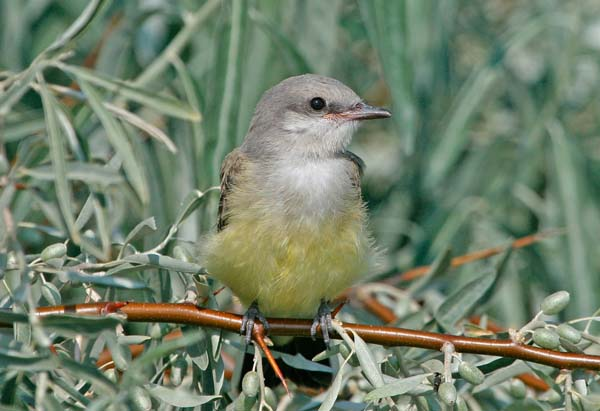 Western Kingbird | Tyrannus verticalis photo