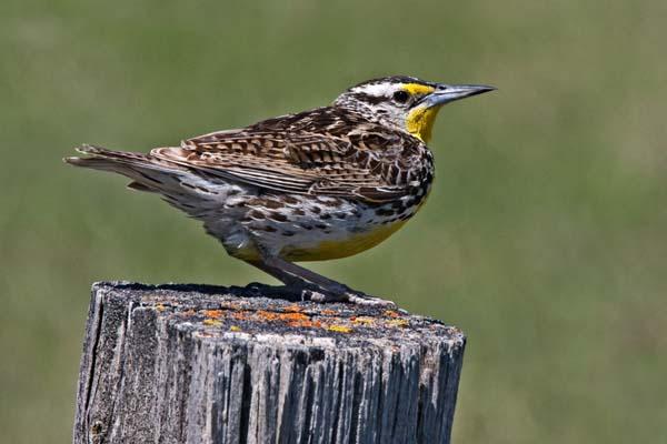 Western Meadowlark | Sturnella neglecta photo