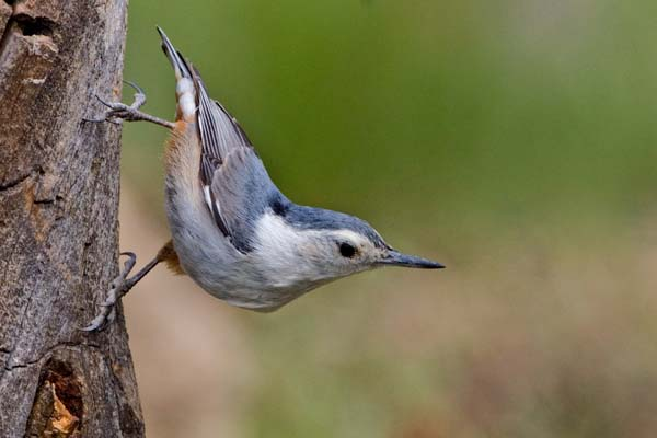 White-breasted Nuthatch | Sitta carolinensis photo