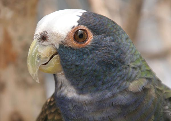 White-crowned Parrot | Pionus senilis photo