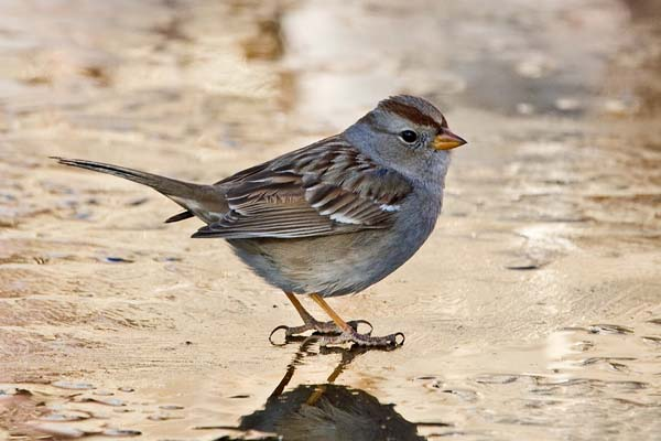 White-crowned Sparrow | Zonotrichia leucophrys photo