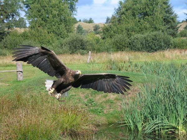 White-tailed Eagle   Haliaeetus albicilla photo