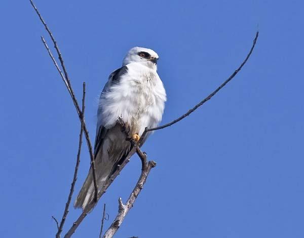 White-tailed Kite | Elanus leucurus photo