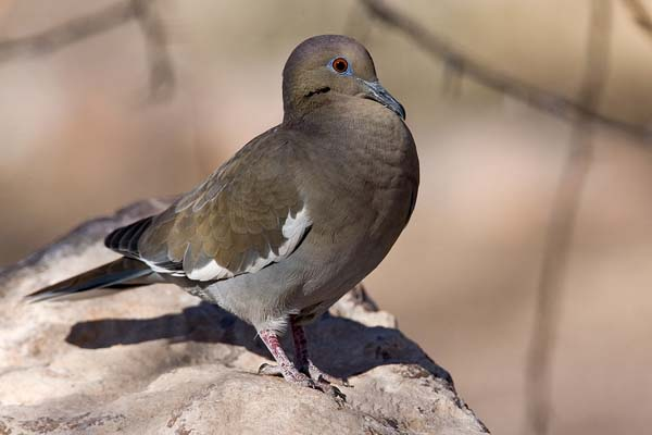 White-winged Dove | Zenaida asiatica photo