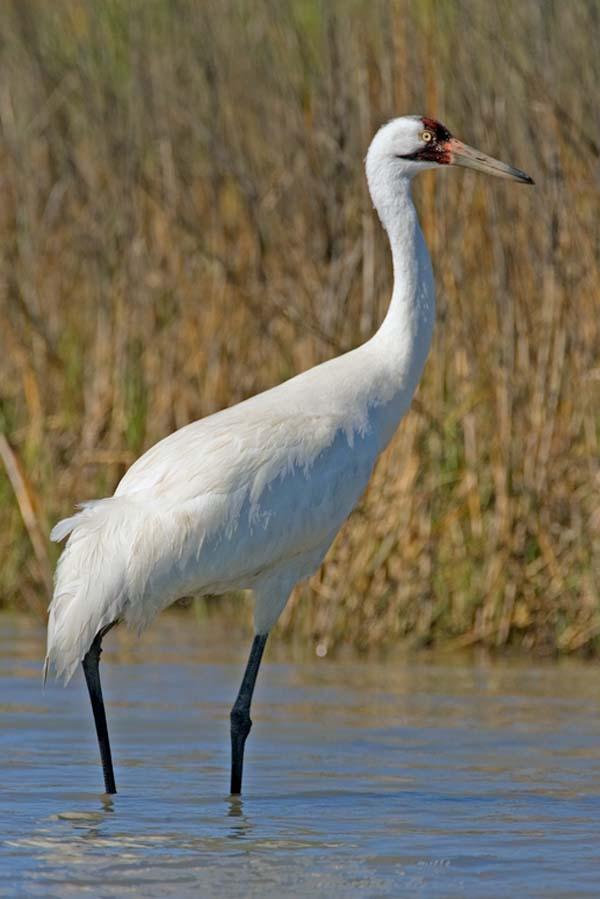 Whooping Crane | Grus americana photo