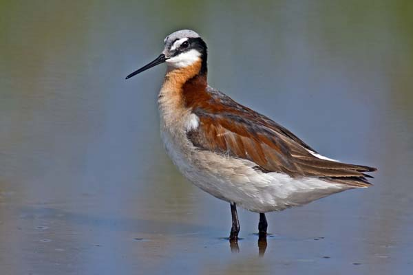 Wilson's Phalarope | Phalaropus tricolor photo