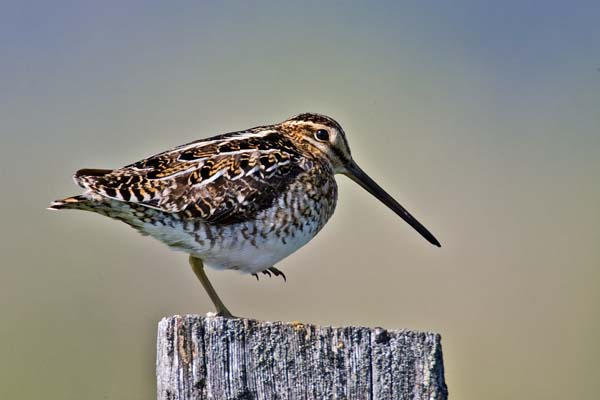 Wilson's Snipe | Gallinago delicata photo