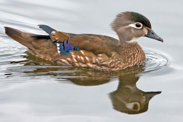 Wood Duck | Aix sponsa photo