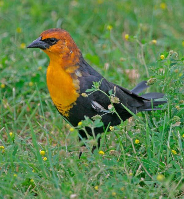 Yellow-headed Blackbird | Xanthocephalus xanthocephalus photo