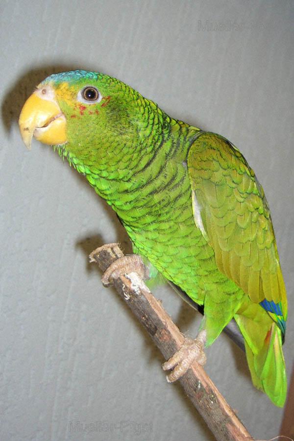 Yellow-lored Parrot   Amazona xantholora photo
