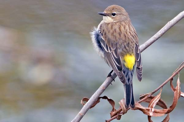 Yellow-rumped Warbler | Dendroica coronata photo