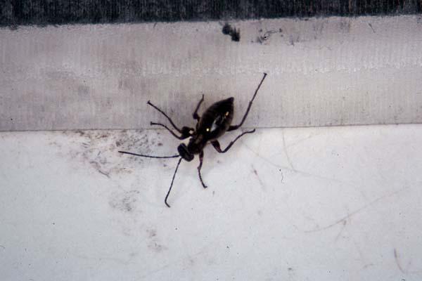 Cynipid gall wasp | Acraspis macrocarpae photo