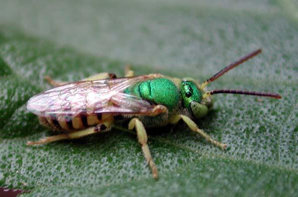 Green Sweat Bee | Agapostemon texanus photo
