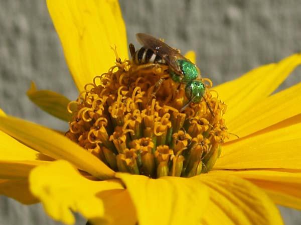 Sweat bee | Agapostemon virescens photo