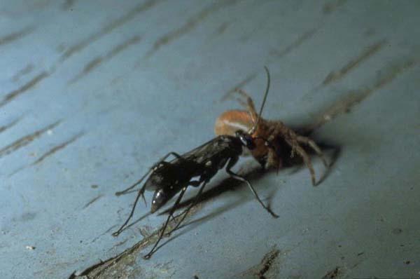 Spider wasp | Agenioideus humilis photo