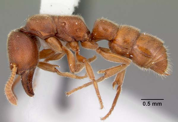 Dracula Ant | Amblyopone pallipes photo