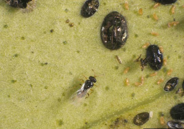 Citrus blackfly parasitoid | Amitus hesperidum photo