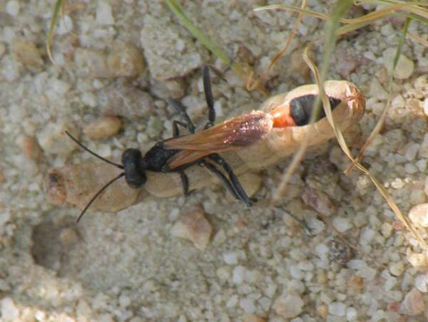 Thread-waisted Wasp | Ammophila pictipennis photo