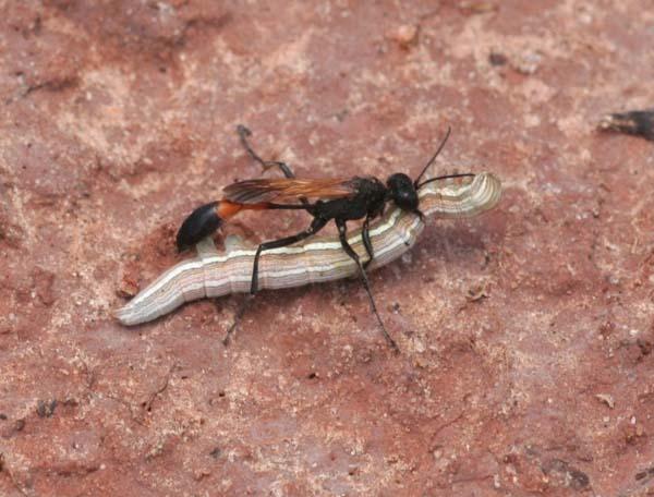 Hunting wasp | Ammophila zanthoptera photo