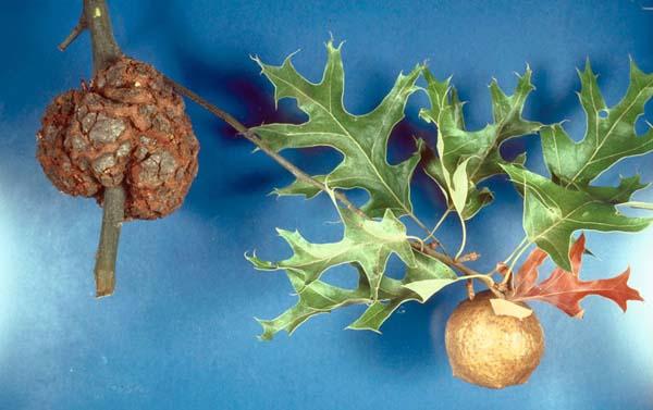 Oak Apple Gall Wasp | Amphibolips confluenta photo