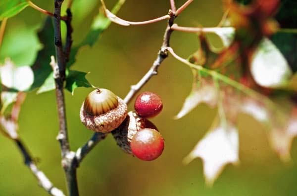 Acorn-plum gall | Amphibolips quercusjuglans photo