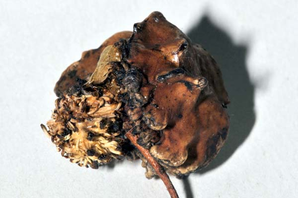 Cynipid gall wasp   Andricus lucidus photo
