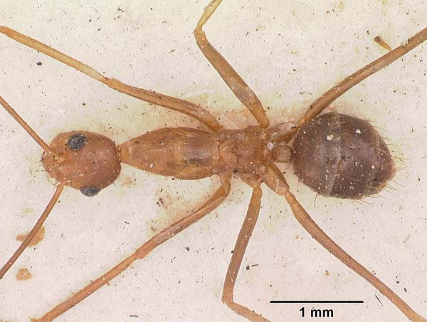 Yellow Crazy Ant | Anoplolepis gracilipes photo