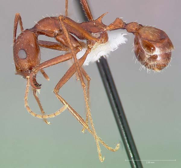 Long-legged ant | Aphaenogaster cockerelli photo