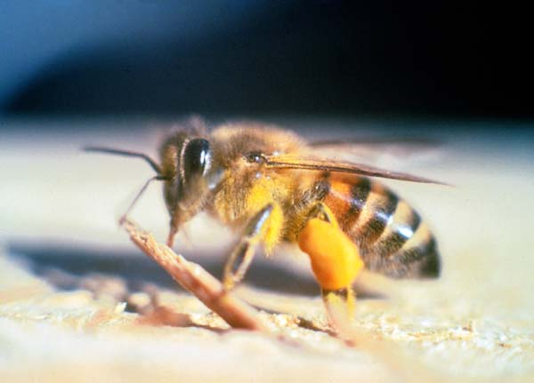 Africanized honey bee | Apis mellifera scutellata photo