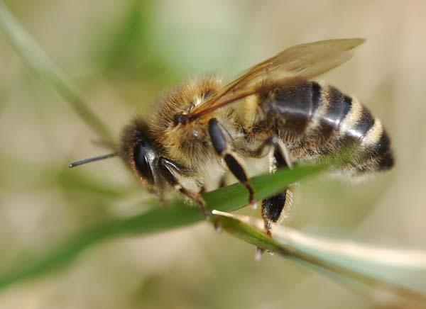 Western honey bee | Apis mellifera photo