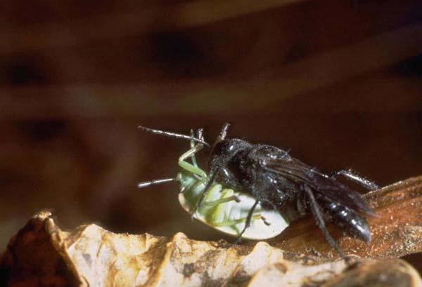 Digger Wasp | Astata occidentalis photo