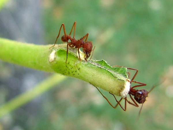 Texas leafcutting ant | Atta texana photo
