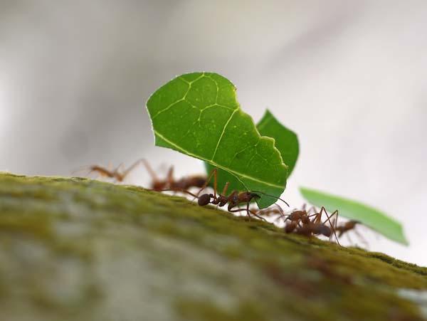 Forest bachac | Atta cephalotes photo