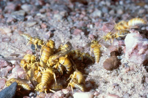 Digger wasp | Bembecinus quinquespinosus photo