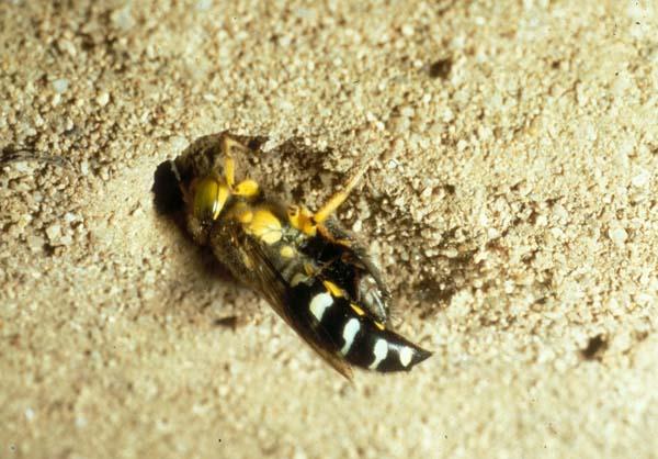 Sphecid wasp | Bembix palmata photo