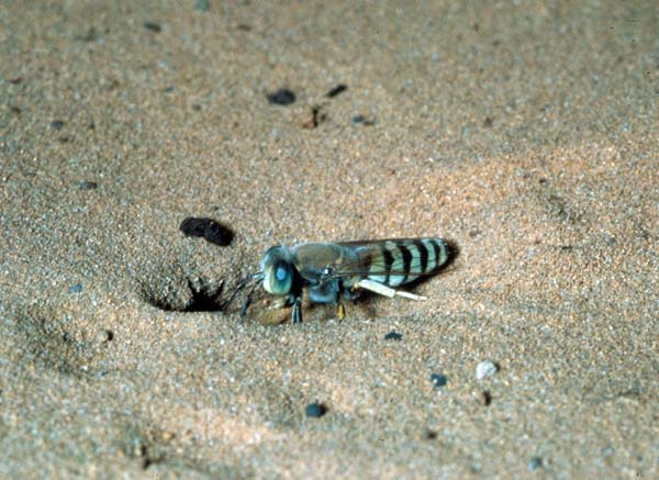 Sand wasp | Bembix pruinosa photo