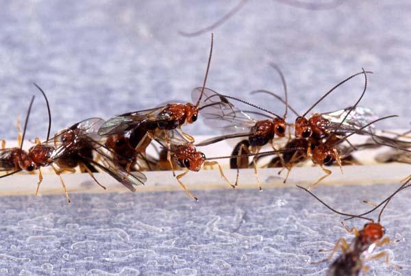 Braconid wasp | Biosteres arisanus photo
