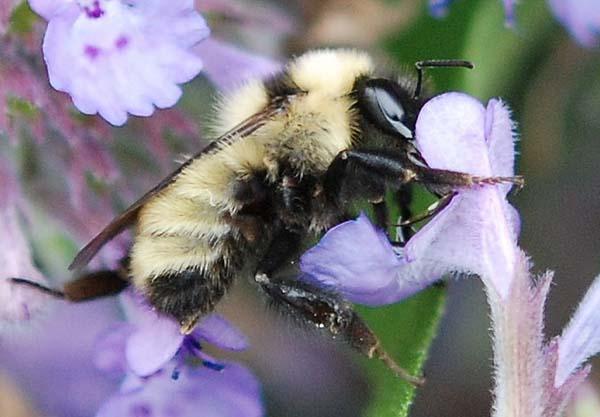 Golden northern bumble bee | Bombus fervidus photo