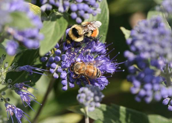 Bumble bee   Bombus huntii photo