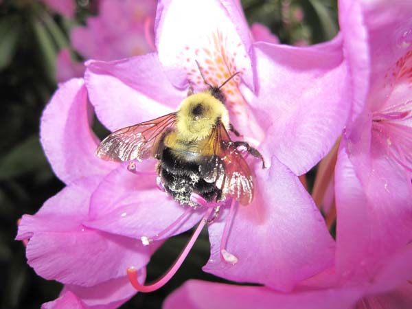 Common Eastern Bumble Bee | Bombus impatiens photo