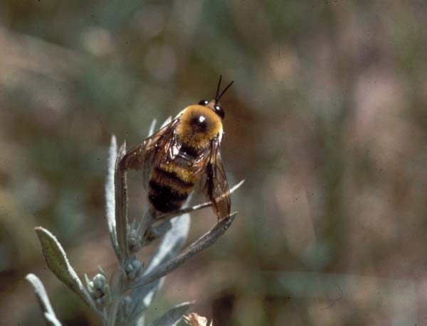 Bumble bee | Bombus nevadensis photo