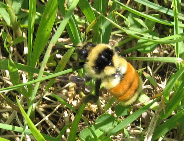 Tricoloured Bumble Bee | Bombus ternarius photo