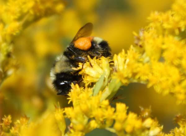 Tricoloured Bumble Bee   Bombus ternarius photo