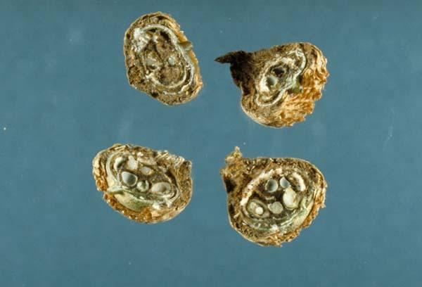 Stony gall | Callirhytis fructuosa photo