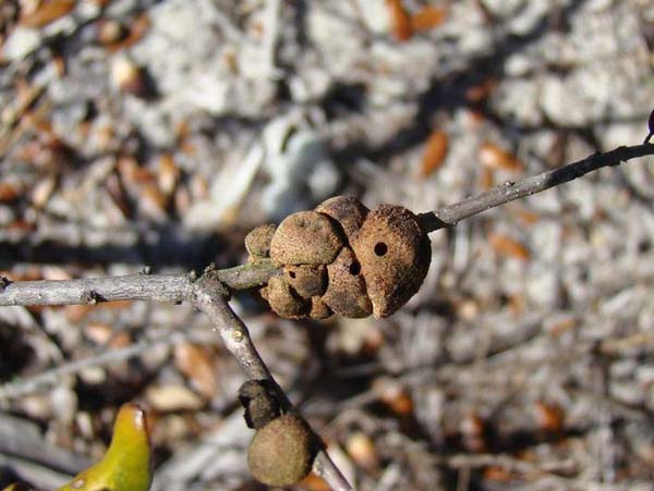 Gouty oak gall | Callirhytis quercuspunctata photo